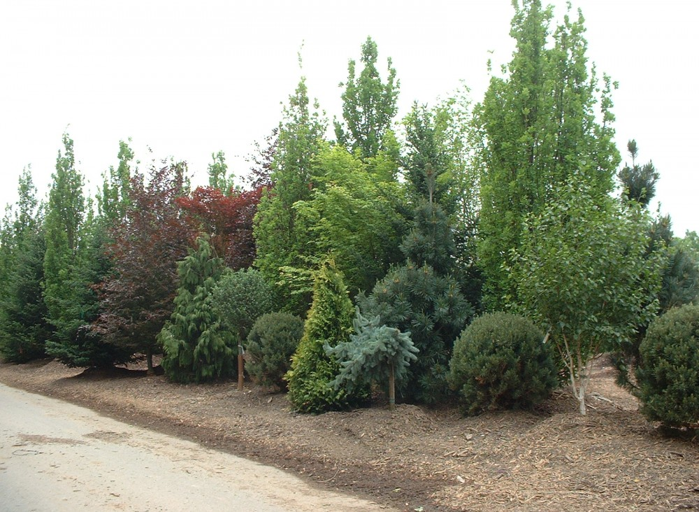 Large trees tight spaces news from the world of pao for Trees for tight spaces